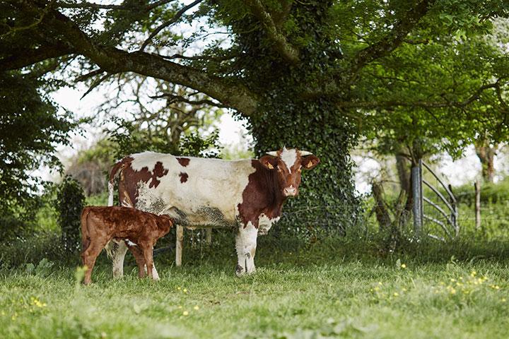 vache AOC Anjou